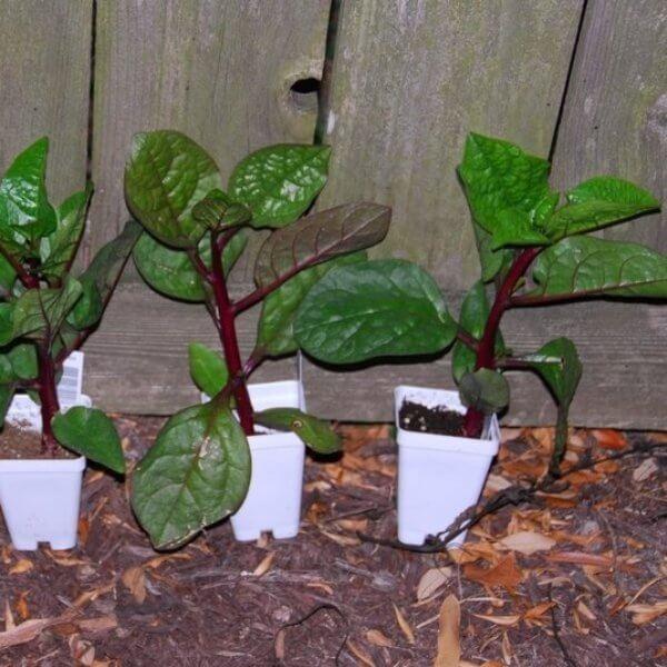 Basella alba 'Rubra' - Vegetable garden