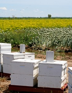 Photo of bee boxes in Colusa County