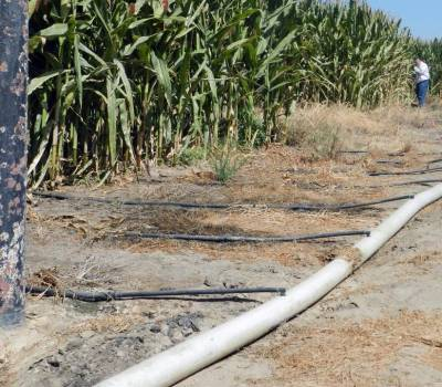 Drip irrigation on corn used to feed dairy cattle.