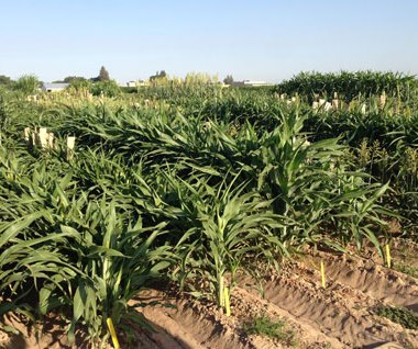 orghum at the UC Kearney Agricultural Research and Extension Center, where field testing will take place next year. (Photo by Peggy Lemaux)