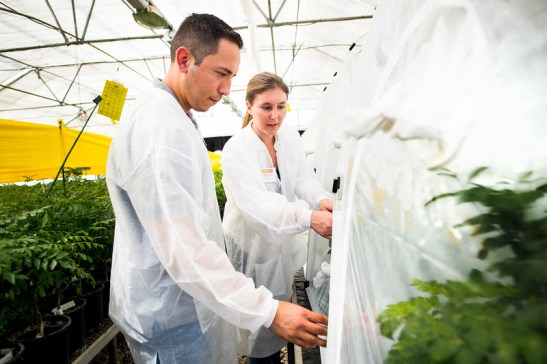 CDFA environmental scientists Alex Muniz, left, and Grace Radabaugh survey 'bug dorms' at Cal Poly Pomona, where researchers are raising insects in a controlled environment to help battle huanglongbing. (Photo by Watchara Phomicinda/ Southern California News Group)