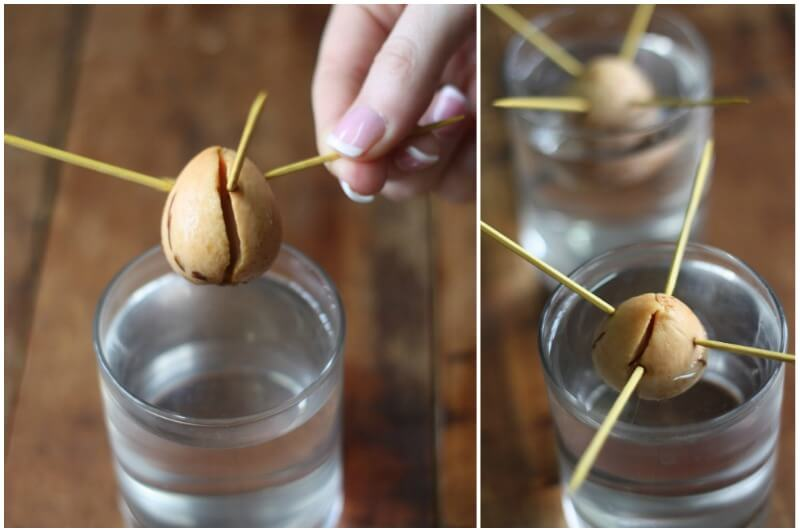 How To Grow Avocado Trees From Pits Plant Instructions