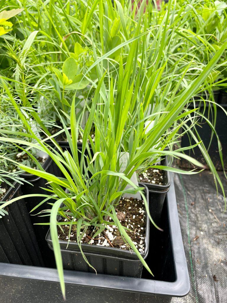 Schizachyrium scoparium (2)
