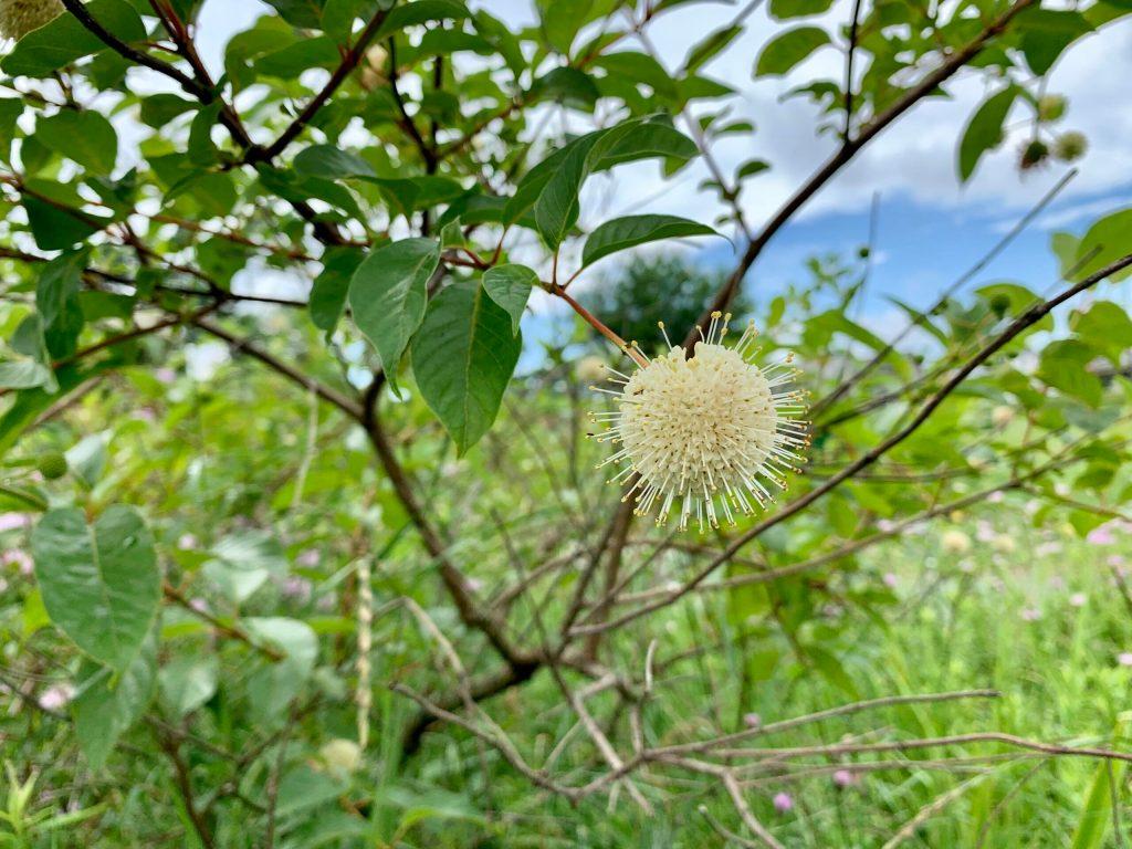 Cephalanthus occidentalis (3)