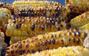Mexico Bans GMO Corn!