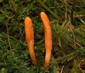 cordyceps treats asthma