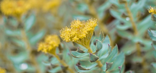 rhodiola helps ease depression