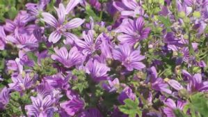 Common mallow and eczema