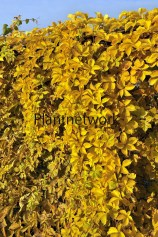 バージニアクリーパーParthenocissus quinqefolia Yellow Wall -のコピー