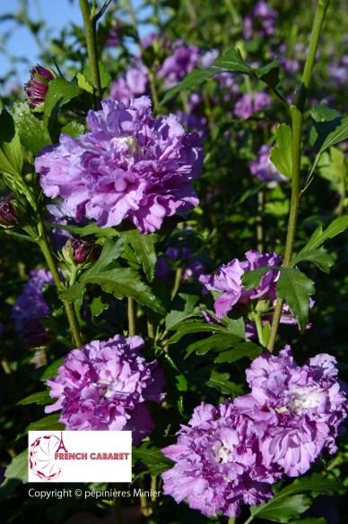 ★ムクゲ フレンチキャバレー パープル Hibiscus FRENCH CABARETゥ PURPLE DSC14_1191のコピー