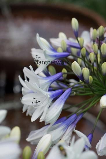 アガパンサス Twister - Flower -のコピー