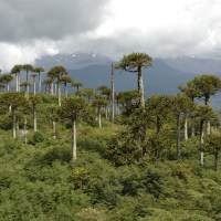 The International Conifer Conservation Programme