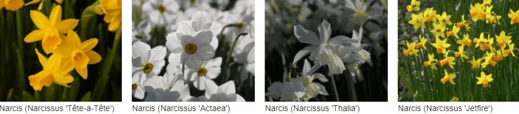 Narcissen kopen