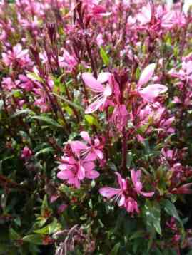 Gaura lindheimeri Geyser Pink