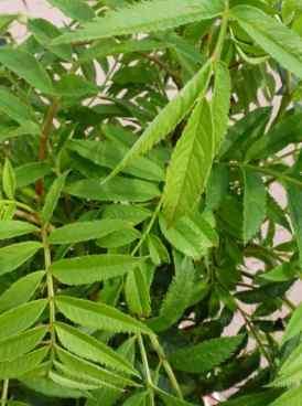 Sorbus aucuparia Autumn Spire