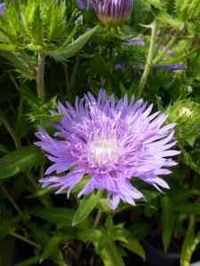 Stokesia laevis Mels Blue