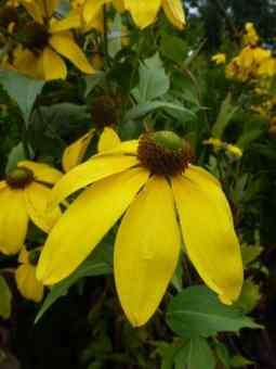 Rudbeckia nitida Herbstsonne