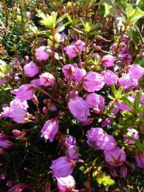 Phylliopsis hillieri Sprite