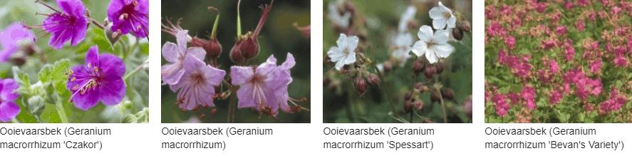 Geranium macrorrhizum kopen