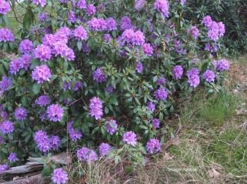 Pontische_rododendron_struik_(Rhododendron_ponticum)_edited-1