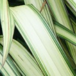 phormium cream white close up