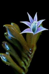 Kangaroos-Paw-Flower-4-Small