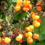Calceolaria-'Kentish-Hero'-