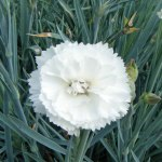 Dianthus-'devon-dove'-(1)