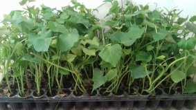 plants de patates douces