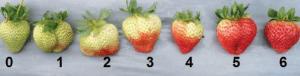 Nuancier de couleurs pour la récolte des fraises.