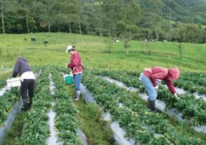 Récolte des fraises par des saisonniers.