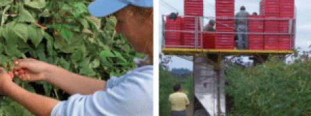 Récolte manuelle pour le frais (à gauche) et mécanique avec machine automotrice pour l'industrie (à droite)