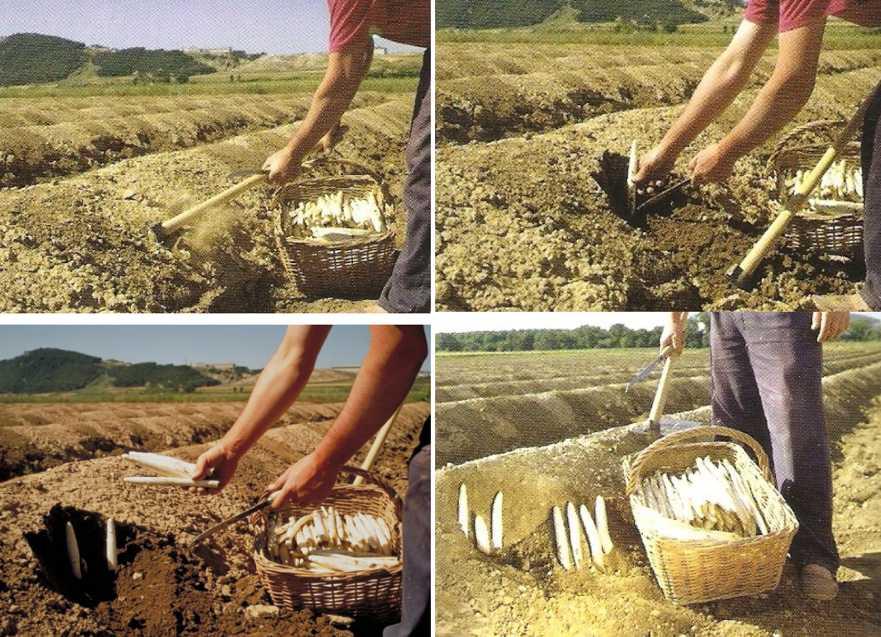 récolte manuelle des asperges
