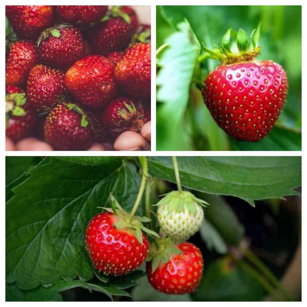 fraises biologiques