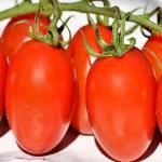 tomato semi