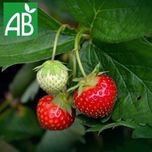 Plants Petits Fruits Fraisier Manille A+ Bio