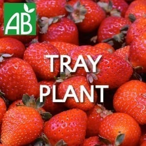 Petits Plants Fruits Rouges Fraisier Gariguette Tray Plants