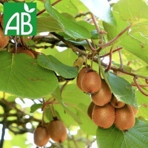 Plants Petits Fruits Kiwi Tomuri Bio
