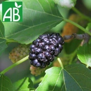 Plants petits Fruits Plants Murier Triple Crown Bio