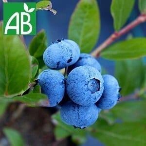Plants petits Fruits Plants Myrtille Ivanhoe Bio