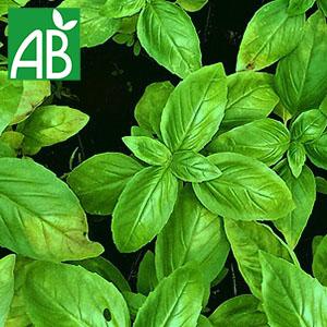 Plant chaud de basilic Grand Vert Compact biologique à feuillage vert et ovale
