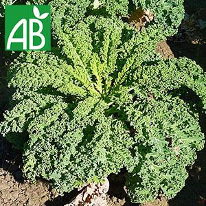 Plant chaud de chou kale Winterbor biologique à feuilles vertes et crépues