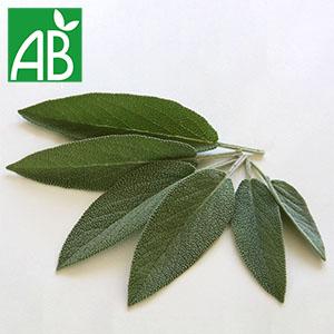 Plant chaud de sauge officinale à feuillage vert, long et pointu