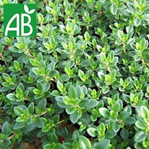 Plant chaud de thym commun biologique à petites feuilles vertes et ovales