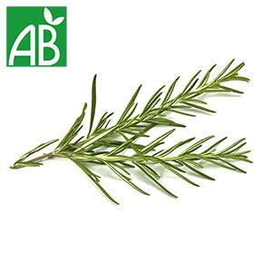 Plant chaud de romarin Droit biologique à branches et épines vertes