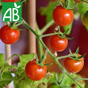 Plant chaud de tomates cerises Sweetbaby biologique à fruit ronds et rouges