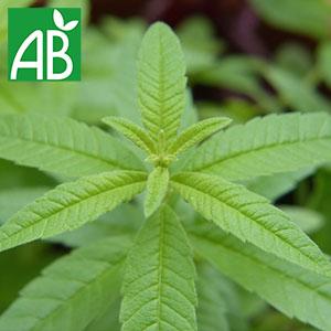 Plant chaud de verveine citronée biologique feuilles vertes, dentelées, fines, longues et pointues.