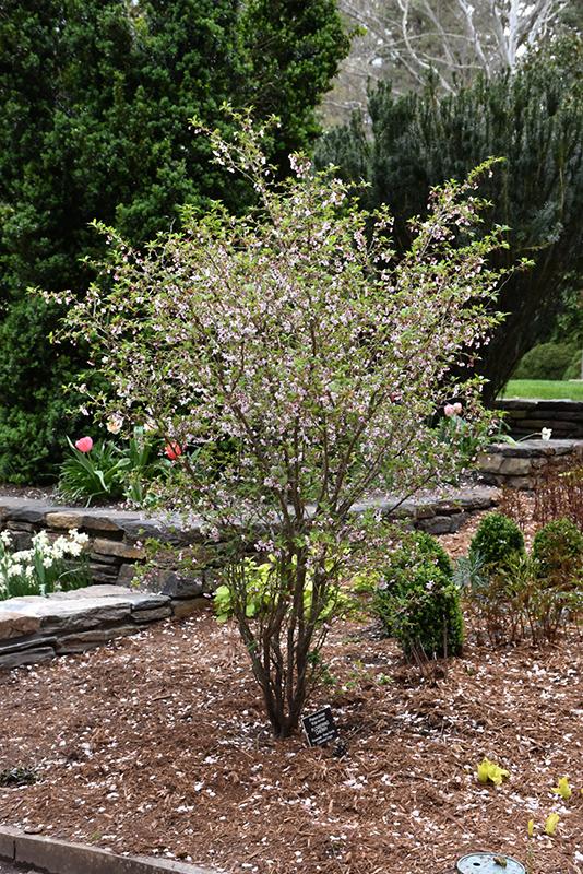 Prunus Kojo No Mai : prunus, Cherry, (Prunus, Incisa, 'Kojo, Mai'), Frankfort, Chicago, Johns, Tinley, Joliet, Orland, Illinois, Alsip, Nursery