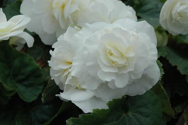 nonstop white begonia