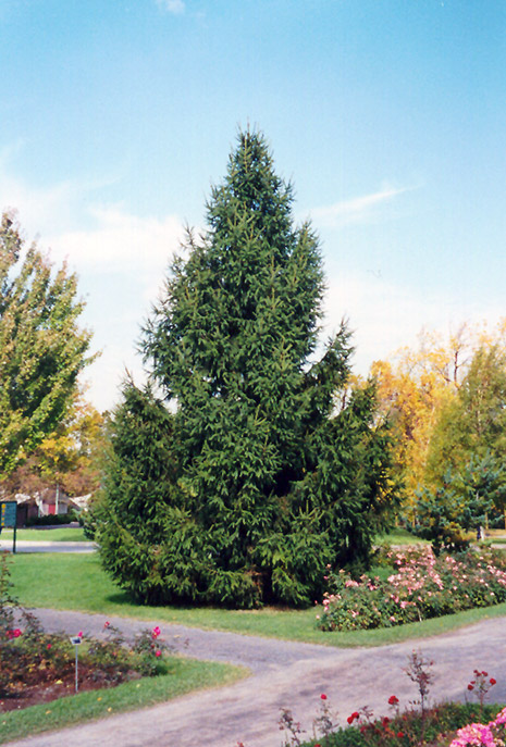 Norway Spruce Picea abies in Inver Grove Heights